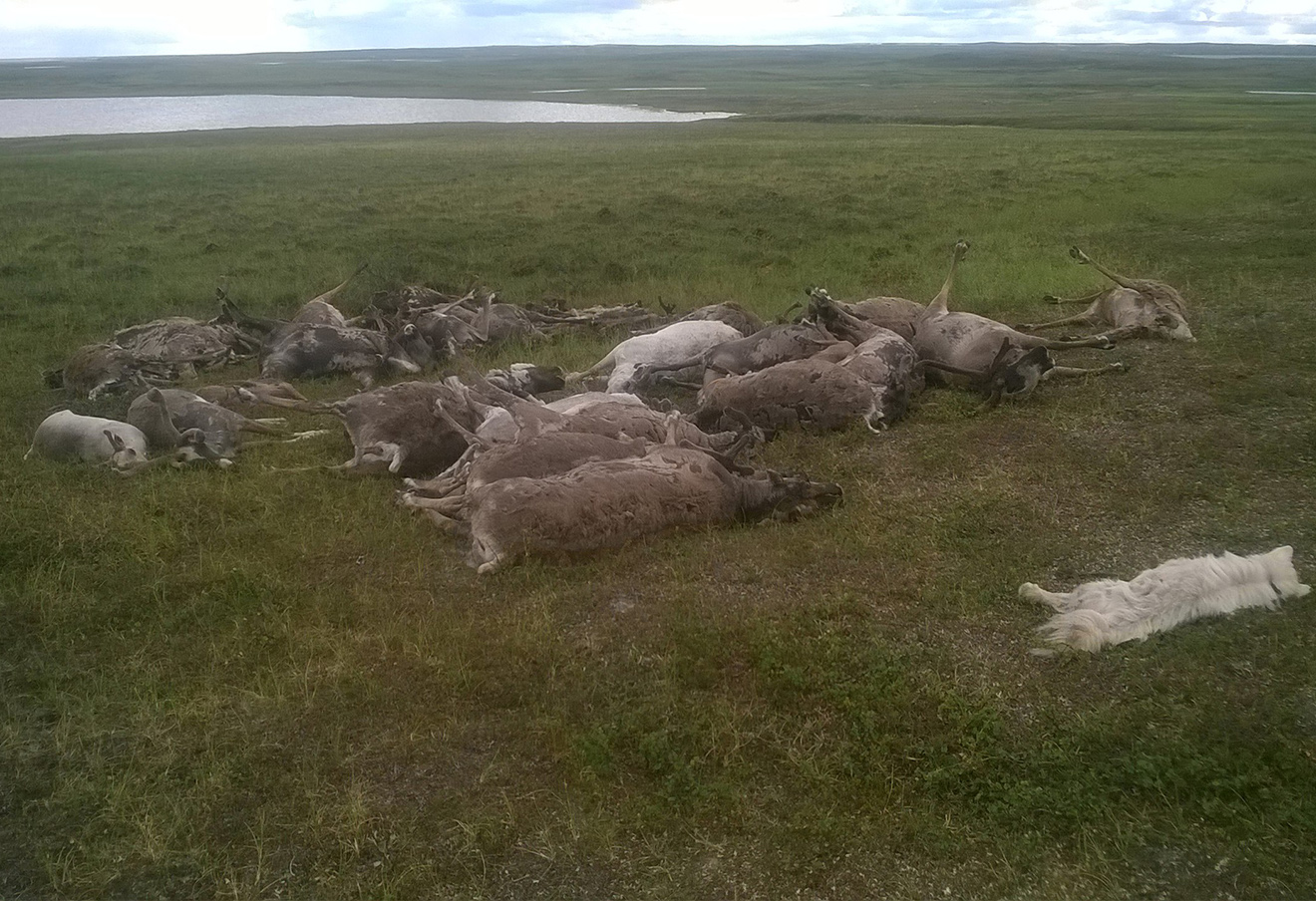 Олени и собака, по версии властей, погибшие от сибирской язвы. Фото: Бенуа Секюр