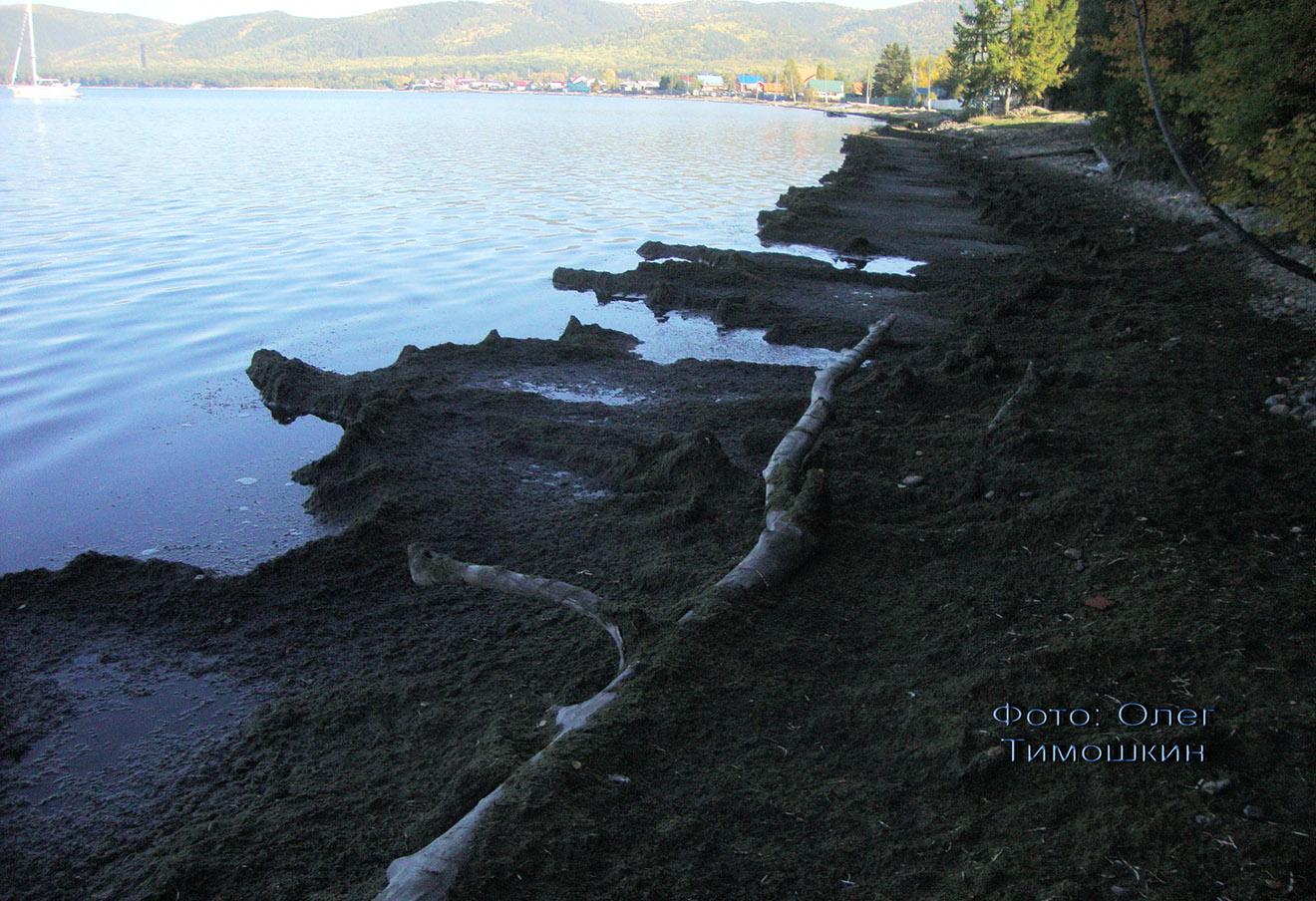 Покрытый мертвыми водорослями берег в бухте Максимиха, 2014 год. Фото: Олег Тимошкин